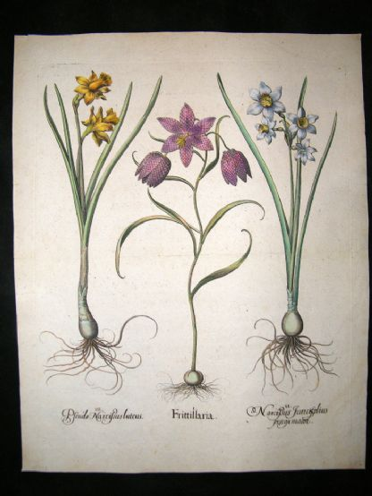 Besler 1713 LG Folio Hand Colored Botanical Print. Frittillaria, Narcissus | Albion Prints